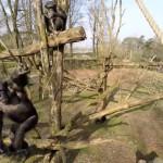 Schimpanse vs. Drohne